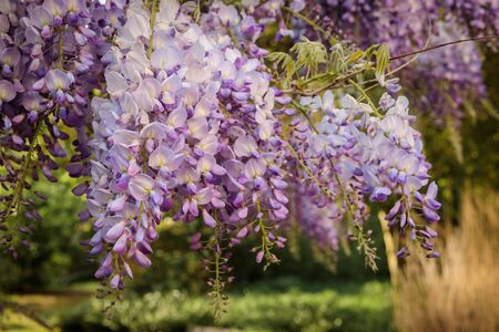 Wisteria sinensis, commonly known as the Chinese wisteria, is a species of flowering plant in the pea family, native to China Stock Photo