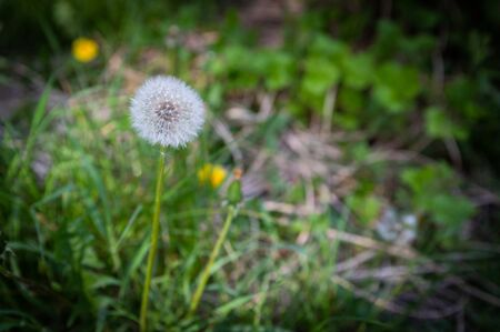 dandelions are in green grass, spring time