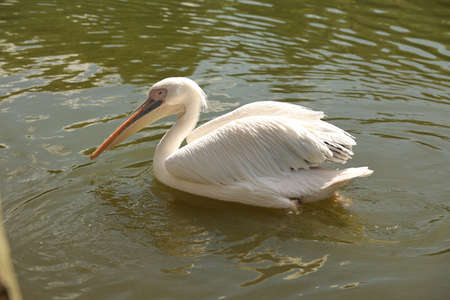 American White Pelican swimming on the lake, close up portrait of funny birds, wild nature. High quality photo Stock fotó