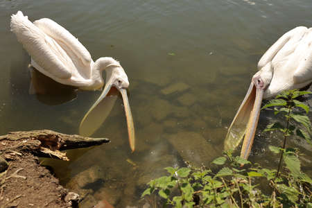 Two American White Pelican swimming on the lake with open mouth, hungry bird, close up portrait of funny birds, wild nature