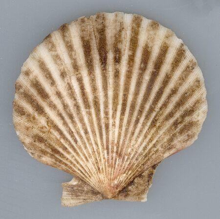 Mediterranean sea clam texture Stock Photo