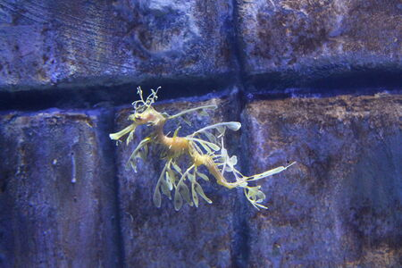 dragon swim: closeup of a sea dragon