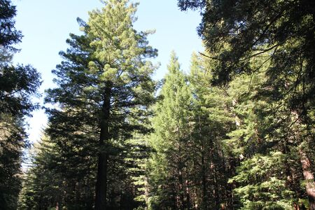 pine trees: view of the pine trees Stock Photo