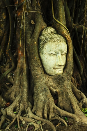 buddha head in banyan tree roots photo