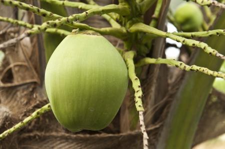 Coconut tree closeup