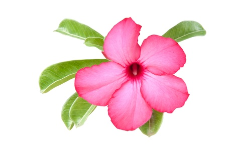 obesum: Adenium obesum on white background,impala lily