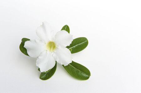 Adenium obesum on white background,impala lily