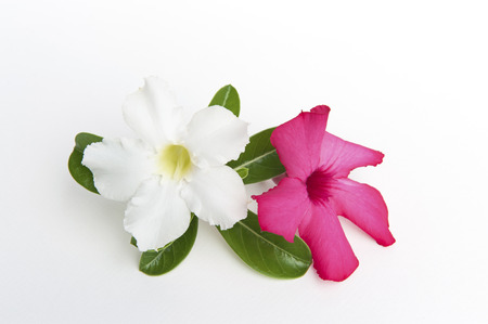 Adenium obesum on white background,impala lily photo