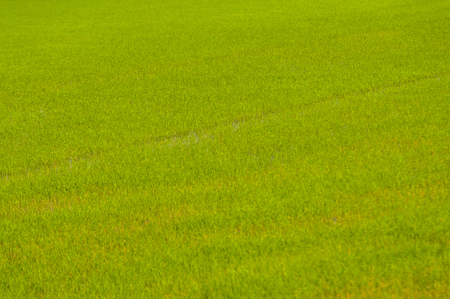 Rice fields in Thailand,Green Color,Background