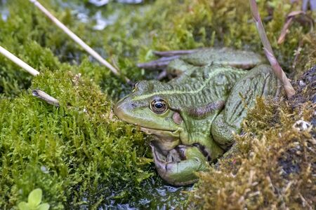 Frog, a beautiful frog is sitting at a garden pond