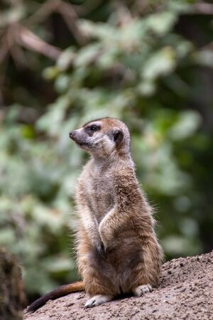 Close up of a meerkat in an animal park in Germany