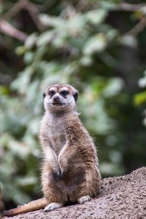 Close up of a meerkat in an animal park in Germany Zdjęcie Seryjne