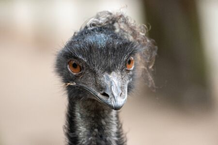Close up of a single ostrich in an animal park in Germany