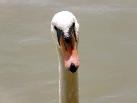 clearness: portrait of the swan