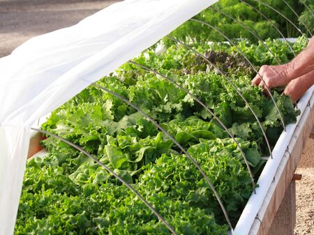 hydroponic: Homemade hydroponic floating lettuce bed