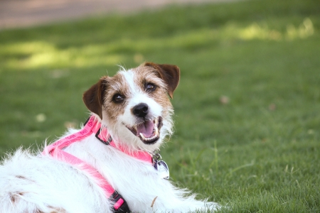 Happy dog wearing a harness at the dog park Archivio Fotografico