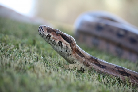 constrictor: Large boa constrictor in the grass