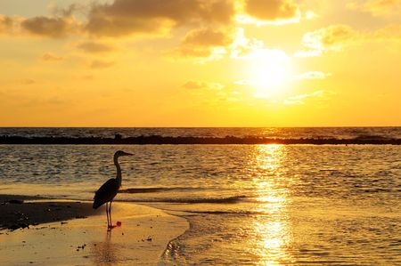 seabird: Seabird with sunrise background at Maldives.
