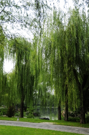 weeping willow: Picture the scene of willow and path at bank of pond