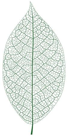Layered Illustration Of Leaf Vein