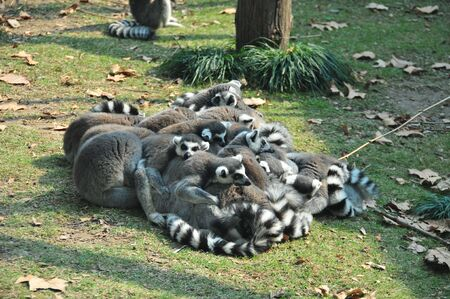 anthropoid: Picture of a group of Lemur  Stock Photo