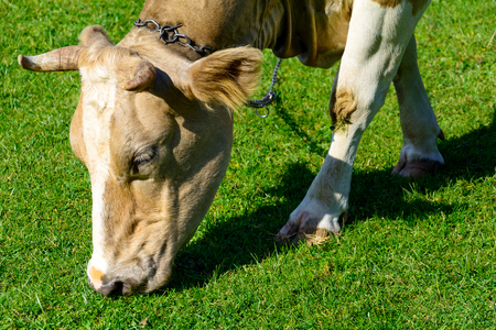 Close up brown cow with chain on meadow eating green spring grass. Animal protection concept. Copy space.