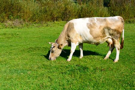 Nahaufnahme braune Kuh mit Kette auf der Wiese, die grünes Frühlingsgras isst. Tierschutzkonzept. Platz kopieren.