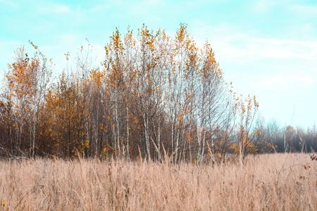 Autumn landscape with birch grove.