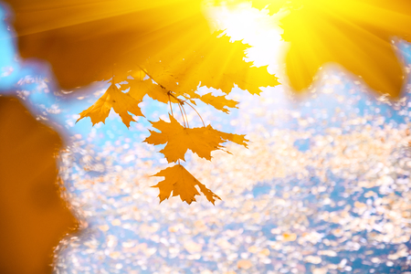 Sunlight from maple foliage in sunny day. Autumn background Stockfoto