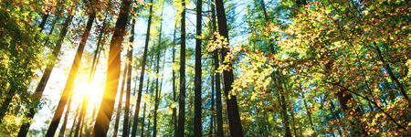 Banner 3:1. Autumn treetops in fall forest. Sky and sunlight through the autumn tree branches. Copy space
