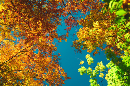 Autumn colorful treetops in fall forest. Sky and clouds through the autumn tree branches from below. Foliage background. Copy space Stockfoto