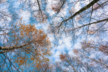 Autumn birch treetops in fall forest. Sky and clouds through the autumn tree branches from below. Foliage background. Copy space Stockfoto
