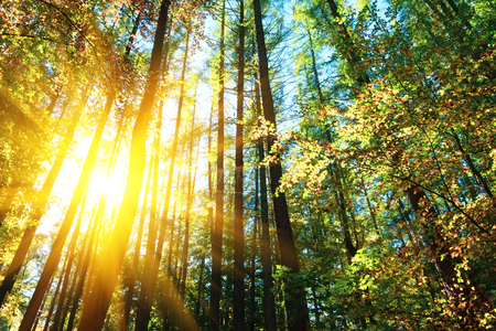 Autumn treetops in fall forest. Sky and sunlight through the autumn tree branches. Copy space