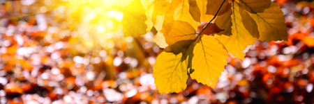 Banner 3:1. Sunlight from alder foliage in sunny day. Autumn background. Soft focus Stockfoto