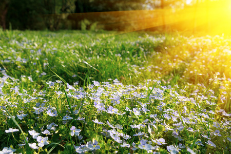 Soft focus carpet of Nemophila (baby blue eyes) flower with sunlight rays. Spring background. Copy space Stockfoto