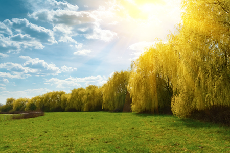 Spring weeping willow trees with sunlight rays in park. Spring background. Copy space Stockfoto