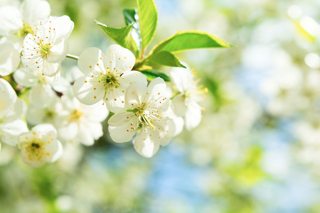 Cherry blossom in full bloom. Spring background. Copy space
