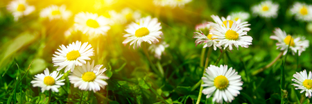 Banner 3:1. Close up daisy (camomile) flowers with sunlight rays. Spring background. Copy space. Soft focus