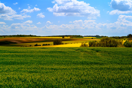 Green wheat and Yellow rapeseed fields in bloom. Spring background. Copy space. Soft focus