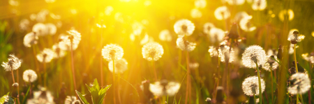 Banner 3:1. Close up dandelion flowers with sunlight rays. Spring background. Copy space. Soft focus