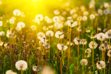 Close up dandelion flowers with sunlight rays. Spring background. Copy space. Soft focus Banque d'images