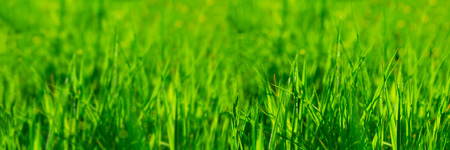 Banner 3:1. Close up vibrant fresh green grass with sunlight rays. Spring background. Copy space. Soft focus