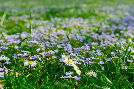 Soft focus carpet of Nemophila (baby blue eyes) flowers. Spring background. Copy space Stockfoto