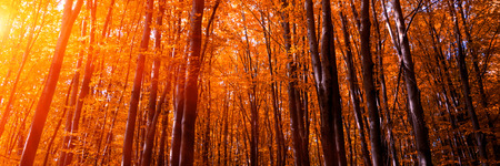 Banner 3:1. Autumn treetops in fall forest. Sky and sunlight through the autumn tree branches. Autumn background. Copy space. Soft focus Stockfoto