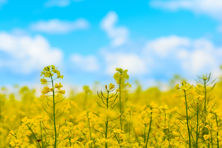 Close-up yellow field rapeseed in bloom with sunlight rays. Spring background. Copy space. Soft focus