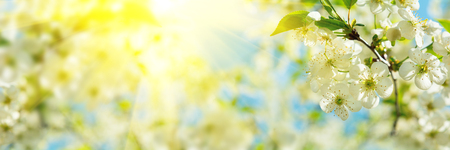 Banner 3:1. Cherry blossom in full bloom with sunlight rays from tree branches. Spring background. Copy space