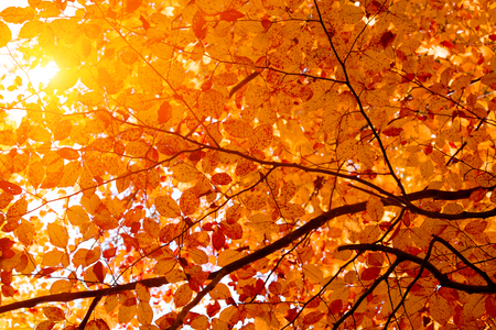 Sunlight from beech foliage in sunny day. Autumn background. Copy space. Soft focus Stockfoto
