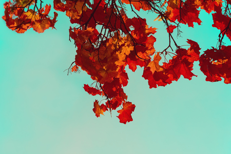 Autumn colorful maple leaves. Sky through the autumn tree branches from below. Foliage background. Copy space Stockfoto