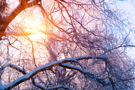 Winter landscape. Winter trees covered with snow. Sky and sunlight through the frozen tree branches. Copy space. Soft focus Stockfoto