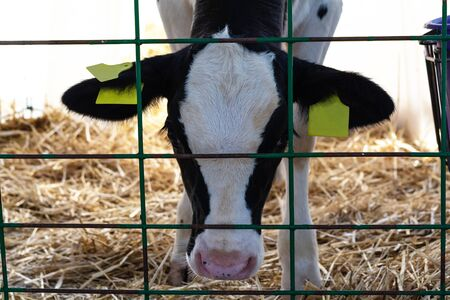 Young calf (heifer) in white calf-house diary farm.  Animal protection concept